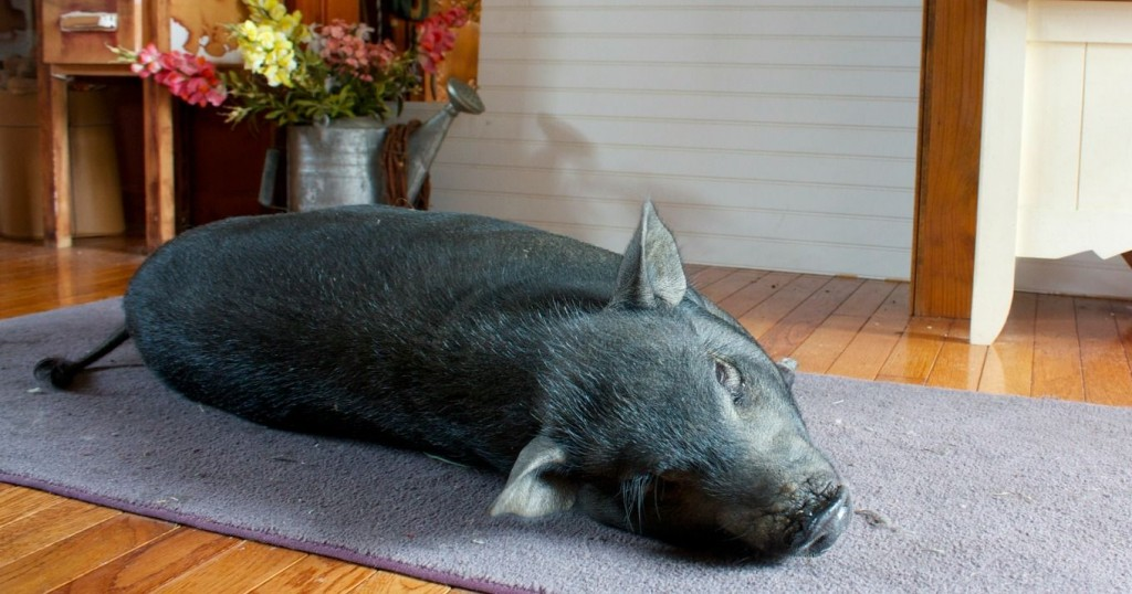 Unconstitutional michigan order still enforced kills pet - Pot belly pigs as indoor pets ...
