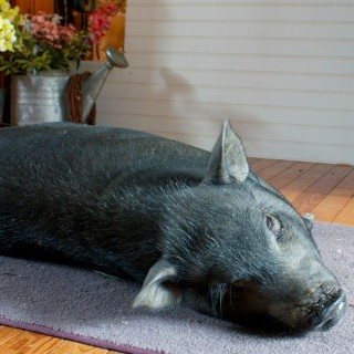 Unconstitutional Michigan Order Still Enforced: Kills Pet Pigs